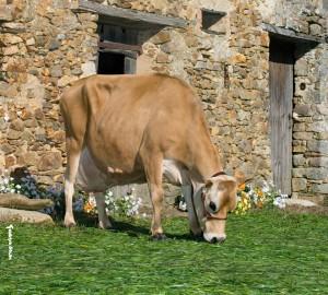 Fabuleuse, 125 500 Kg de lait à 7% en 11 Lactations à 59,2 de TB et 40,3 de TP