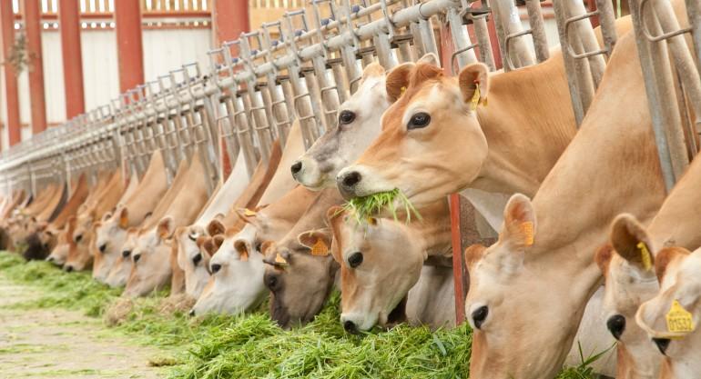 NUTRITION Ration des vaches laitières Jersiaises